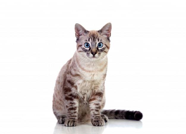 Gatinha de olhos azuis