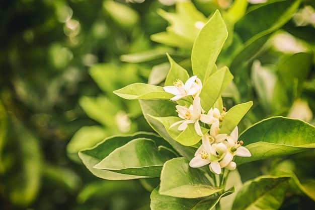 nomes de flores flor de laranjeira