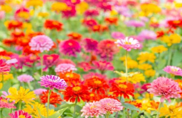 nomes de flores zinnia