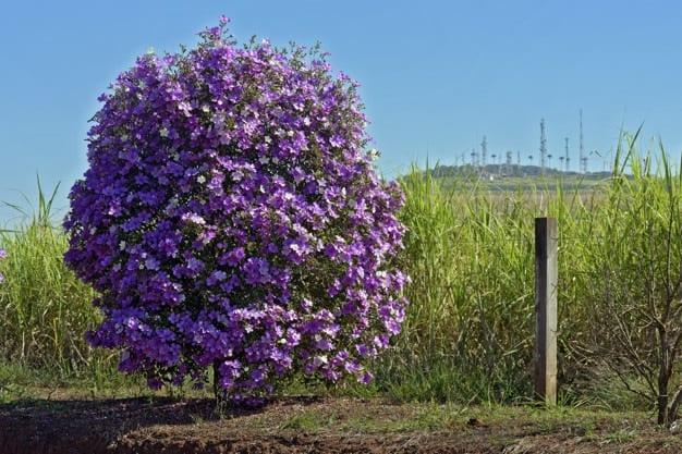 nomes de flores Manacá-da-serra