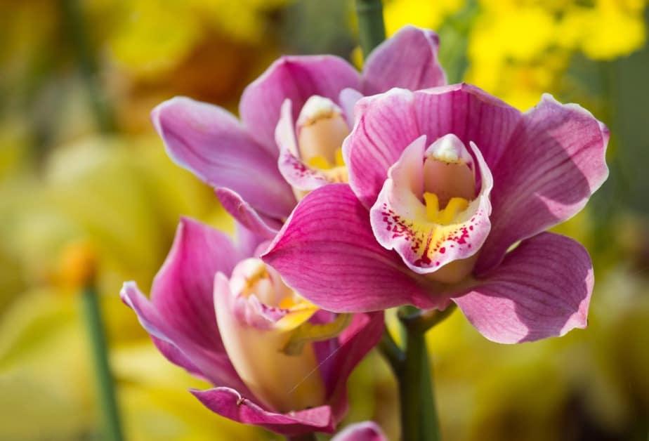 nomes de flores Orquídea