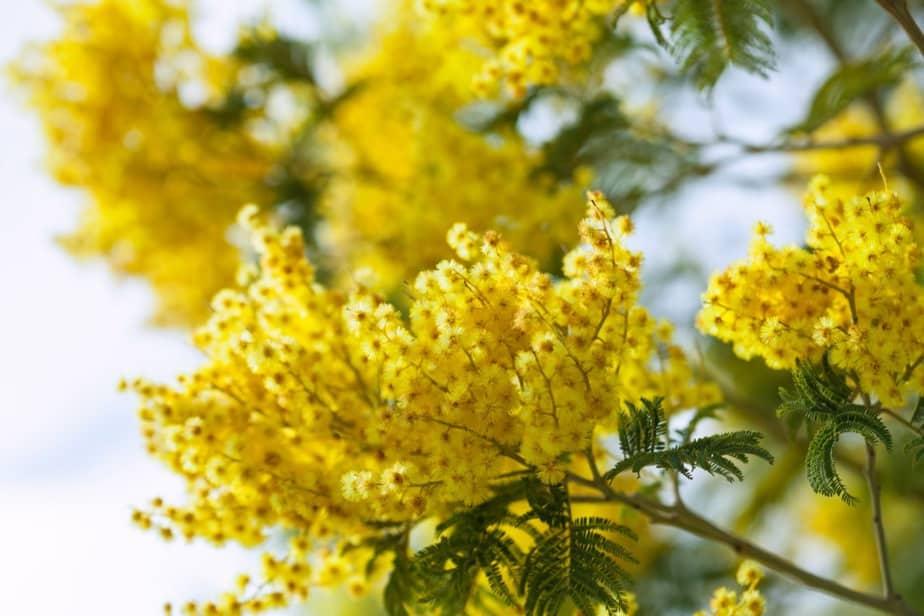 nomes de flores acácia