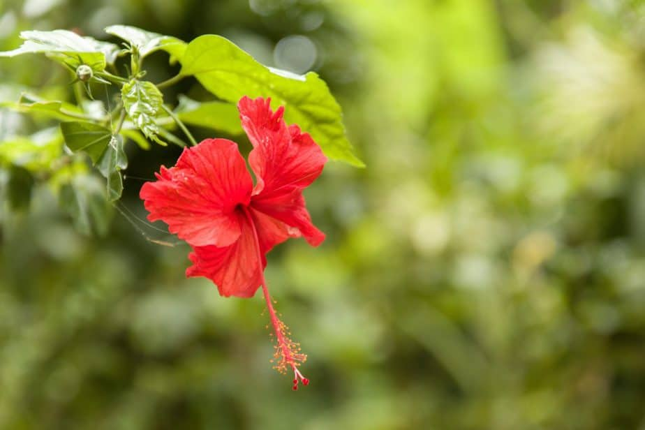 nomes de flores hibisco