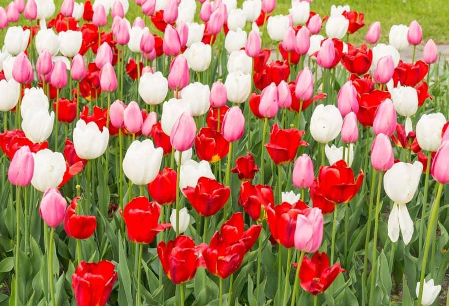 nomes de flores tulipas