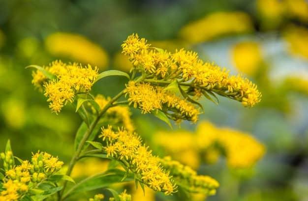 nomes de flores solidago